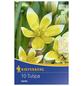 KIEPENKERL Tulpen tarda Tulipa-Thumbnail