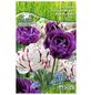 PEGASUS Tulpen x Hybrida Tulipa-Thumbnail