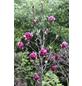 Tulpenmagnolie, Magnolia soulangiana »Genie«, Blütenfarbe violett-Thumbnail