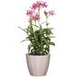 SCHEURICH Übertopf »ELEGANCE«, Breite: 12 cm, rosé, Keramik-Thumbnail