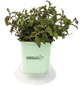 GREENBAR Vietnamesischer Koriander 3er Set, Persicaria Odorata, Blütenfarbe: weiß/rosa-Thumbnail