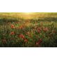 KOMAR Vliestapete »Poppy World«, Breite 450 cm, seidenmatt-Thumbnail