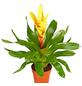 GARTENKRONE Vriesee Vriesea Hybrid, Mehrfarbig-Thumbnail