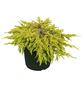 Wacholder communis Juniperus »Goldschatz«-Thumbnail