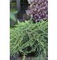 Wacholder communis Juniperus »Green Mantle«-Thumbnail