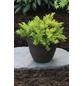 Wacholder conferta Juniperus »Allgold«-Thumbnail