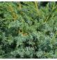 GARTENKRONE Wacholder, Juniperus chinensis »Blue Alps«, winterhart-Thumbnail