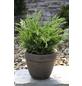 Wacholder media Juniperus »Mint Julep«-Thumbnail