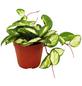Wachsblume, carnosa Hoya »tricolor«, Topf-Ø: 12cm-Thumbnail