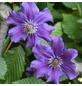 GARTENKRONE Waldrebe, Clematis  »Asvha«, Blüten: violett-Thumbnail