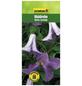 GARTENKRONE Waldrebe, Clematis  »Betty Corning«, Blüten: violett-Thumbnail