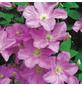 GARTENKRONE Waldrebe, Clematis »comt. De Bouchaud«, Blüten: hellrosa-Thumbnail