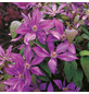 GARTENKRONE Waldrebe, Clematis  »Dorothy Walton«, Blüten: rosa/pink-Thumbnail