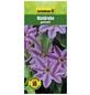 GARTENKRONE Waldrebe, Clematis  »Gestreift«, Blüten: zweifarbig-Thumbnail