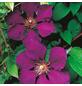 GARTENKRONE Waldrebe, Clematis »Gipsy Queen«, Blüten: violett-Thumbnail