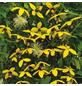 GARTENKRONE Waldrebe, Clematis  »Gold Harvest«, Blüten: gelb-Thumbnail