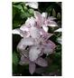 GARTENKRONE Waldrebe, Clematis »Hagley Hybrid«, rosa, winterhart-Thumbnail