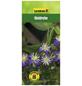 GARTENKRONE Waldrebe, Clematis integrifolia »Aromatica«, Blüten: violett-Thumbnail
