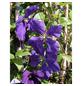 GARTENKRONE Waldrebe, Clematis »Jackmanii«, blau, winterhart-Thumbnail