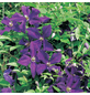 GARTENKRONE Waldrebe, Clematis »Lila«, Blüten: violett-Thumbnail