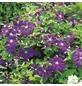 GARTENKRONE Waldrebe, Clematis »*lila*«, violett, winterhart-Thumbnail