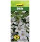 GARTENKRONE Waldrebe, Clematis »Miss Bateman«, Blüten: weiß-Thumbnail