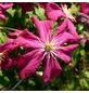 GARTENKRONE Waldrebe, Clematis  »Mme. Julia Correvon«, Blüten: rot-Thumbnail
