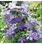 GARTENKRONE Waldrebe, Clematis  »Mrs. Cholmondeley«, Blüten: hellblau-Thumbnail