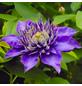 GARTENKRONE Waldrebe, Clematis »Multi Blue«, blau, winterhart-Thumbnail