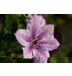 GARTENKRONE Waldrebe, Clematis »Nelly Moser«, Blüten: zweifarbig-Thumbnail