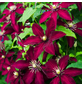 GARTENKRONE Waldrebe, Clematis »Niobe«, Blüten: rot-Thumbnail