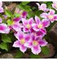 GARTENKRONE Waldrebe, Clematis  »Piilu«, Blüten: rosa/pink-Thumbnail