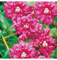 GARTENKRONE Waldrebe, Clematis »Purp. Plena Elegans«, Blüten: dunkelrosa-Thumbnail