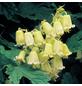 GARTENKRONE Waldrebe, Clematis rehderiana, Blüten: creme-Thumbnail