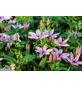 GARTENKRONE Waldrebe, Clematis »*rosa*«, rosa/pink, winterhart-Thumbnail