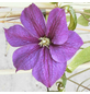 GARTENKRONE Waldrebe, Clematis  »Star Of India«, Blüten: zweifarbig-Thumbnail