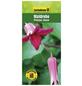 GARTENKRONE Waldrebe, Clematis texensis »Princess Diana«, Blüten: rosa/pink-Thumbnail