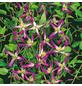 GARTENKRONE Waldrebe, Clematis triternata »Rubromarginata«, Blüten: rot-Thumbnail