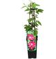 GARTENKRONE Waldrebe, Clematis »Ville de Lyon«, Blüten: rosa/pink-Thumbnail
