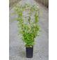 GARTENKRONE Waldrebe, Clematis vitalba, Blüten: creme-Thumbnail