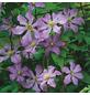 GARTENKRONE Waldrebe, Clematis viticella »Prince Charles«, Blüten: hellblau-Thumbnail