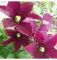 GARTENKRONE Waldrebe, Clematis »Warzawska Nike«, Blüten: dunkelrot-Thumbnail