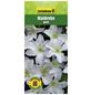 GARTENKRONE Waldrebe, Clematis »Weiß«, Blüten: weiß-Thumbnail