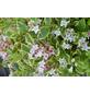 GARTENKRONE Weigelie, Weigela florida »Nana Variegata«, rosa/pink, winterhart-Thumbnail