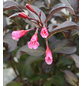 GARTENKRONE Weigelie, Weigela florida »Wine and Roses «, rosa/pink, winterhart-Thumbnail