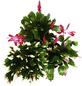 Weihnachtskaktus 3er Set Schlumbergera-Thumbnail