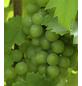 GARTENKRONE Weinrebe, Vitis vinifera »Bianca« Blüten: creme, Früchte: grün, essbar-Thumbnail