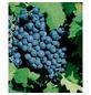 GARTENKRONE Weinrebe, Vitis vinifera »Dornfelder« Blüten: creme, Früchte: blau, essbar-Thumbnail