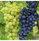 Weinrebe, Vitis vinifera »Duo«, Früchte: mehrfarbig, essbar-Thumbnail
