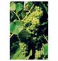 GARTENKRONE Weinrebe, Vitis vinifera »Lakemont«, Blüten: creme, essbare Früchte-Thumbnail